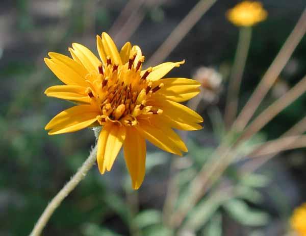 Zexmenia flower