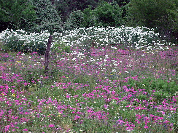 Phlox and white prickly poppy