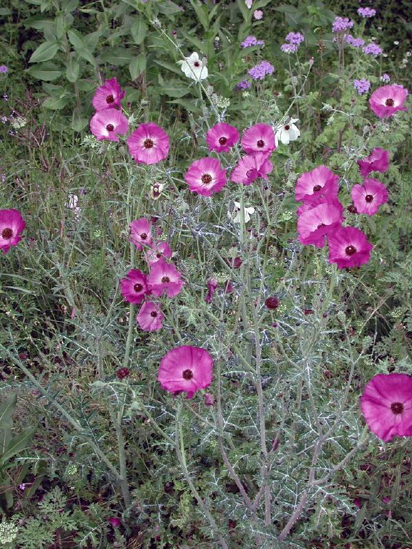 purple prickly poppy